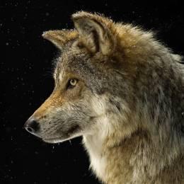 Where? Wolf